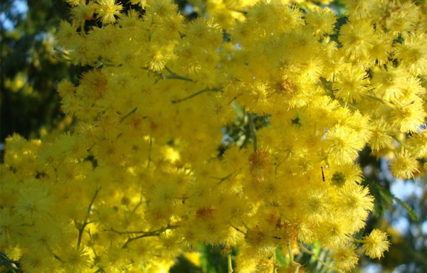 Mimosa flowers for women